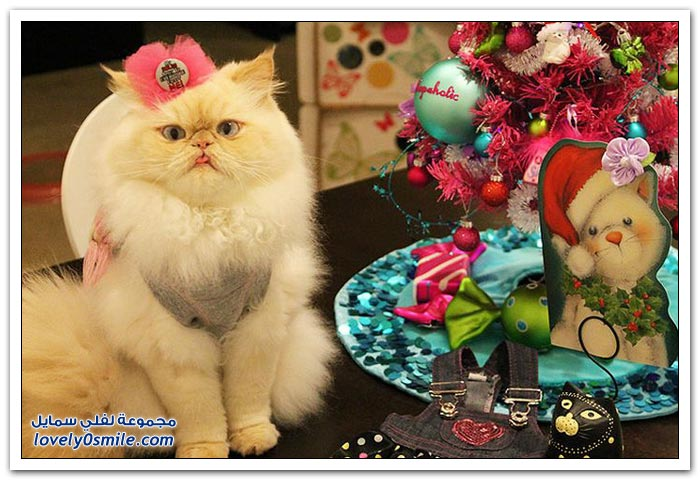 قطـــه باخر زمــن لاتفوتــــكــم Pampered-cats-10.jpg