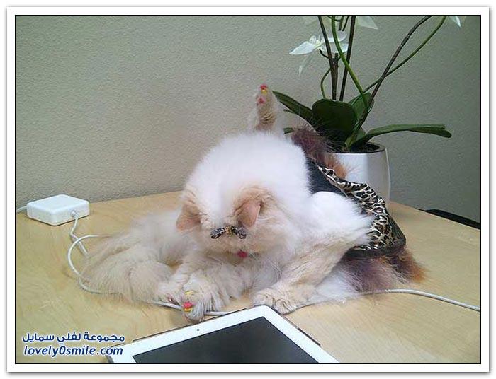 قطـــه باخر زمــن لاتفوتــــكــم Pampered-cats-11.jpg