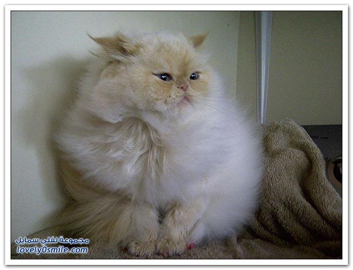 قطـــه باخر زمــن لاتفوتــــكــم Pampered-cats-15.jpg