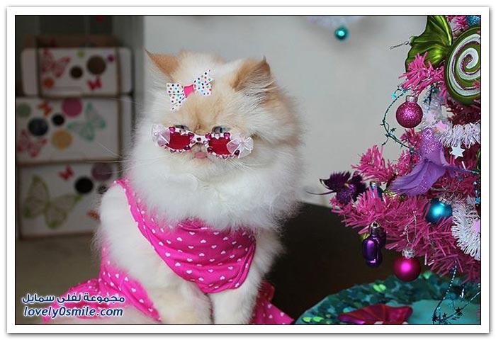 قطـــه باخر زمــن لاتفوتــــكــم Pampered-cats-21.jpg
