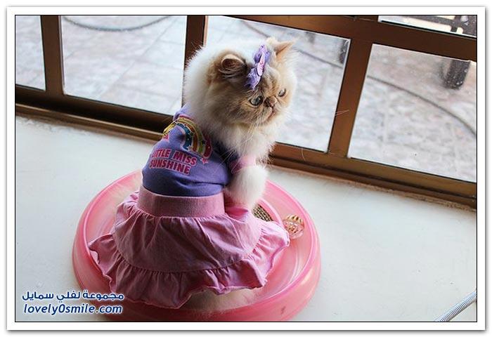 قطـــه باخر زمــن لاتفوتــــكــم Pampered-cats-27.jpg