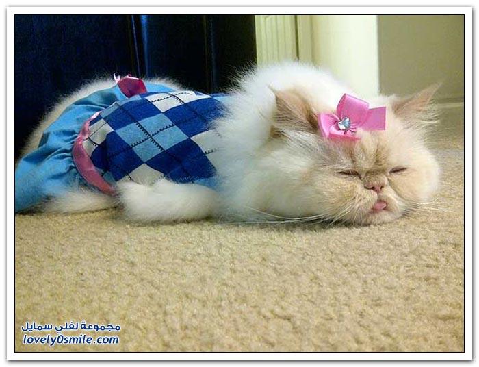 قطـــه باخر زمــن لاتفوتــــكــم Pampered-cats-32.jpg