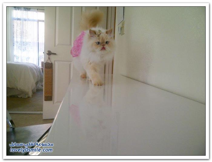 قطـــه باخر زمــن لاتفوتــــكــم Pampered-cats-35.jpg