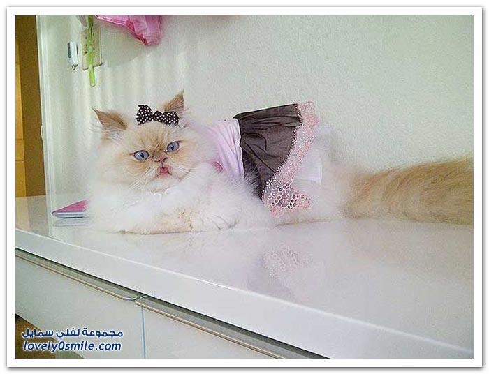 قطـــه باخر زمــن لاتفوتــــكــم Pampered-cats-37.jpg