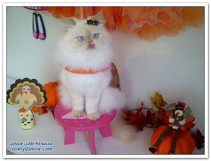 قطـــه باخر زمــن لاتفوتــــكــم Pampered-cats-39.jpg