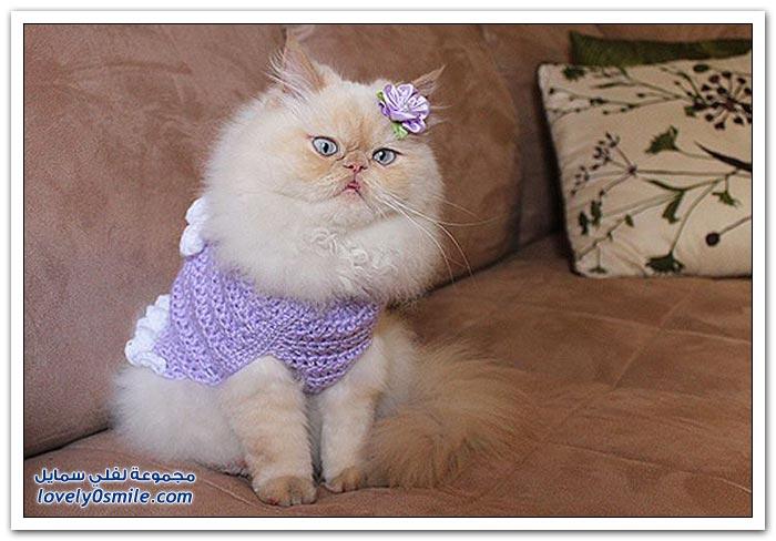 قطـــه باخر زمــن لاتفوتــــكــم Pampered-cats-42.jpg