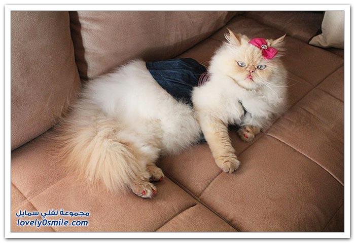 قطـــه باخر زمــن لاتفوتــــكــم Pampered-cats-43.jpg