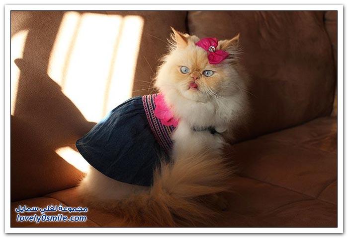 قطـــه باخر زمــن لاتفوتــــكــم Pampered-cats-45.jpg