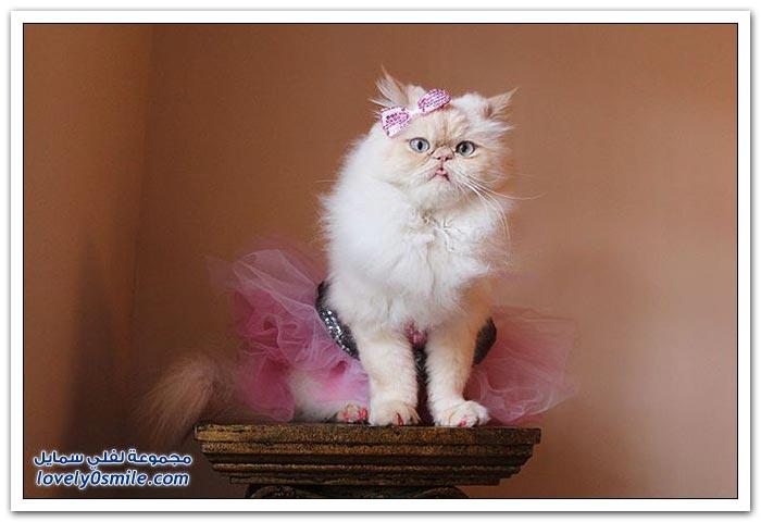 قطـــه باخر زمــن لاتفوتــــكــم Pampered-cats-47.jpg
