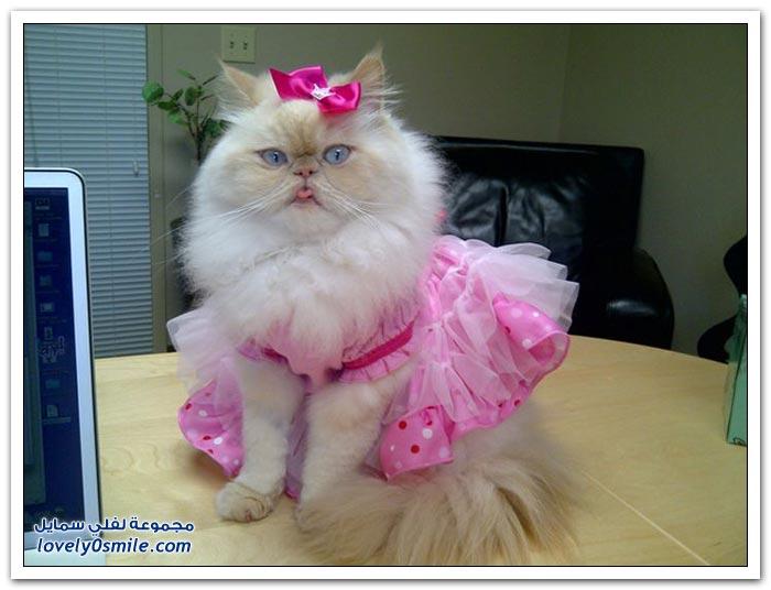 قطـــه باخر زمــن لاتفوتــــكــم Pampered-cats-49.jpg