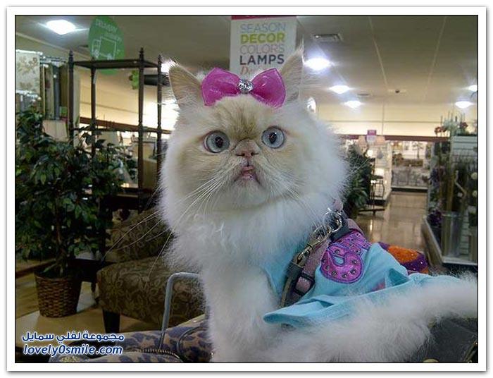 قطـــه باخر زمــن لاتفوتــــكــم Pampered-cats-51.jpg