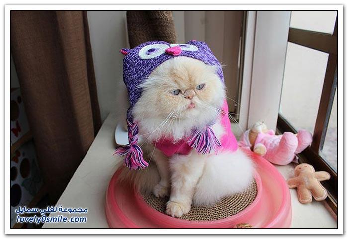 قطـــه باخر زمــن لاتفوتــــكــم Pampered-cats-54.jpg