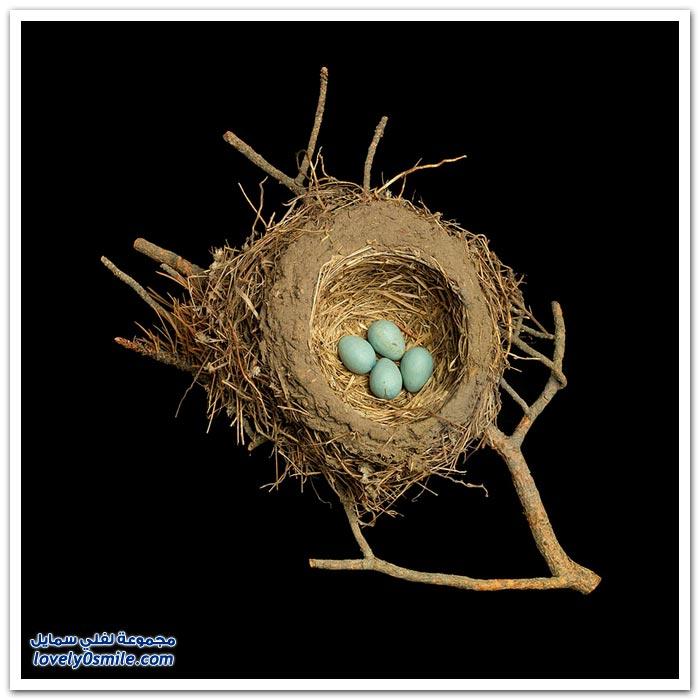 فن العمارة في بناء أعشاش الطيور