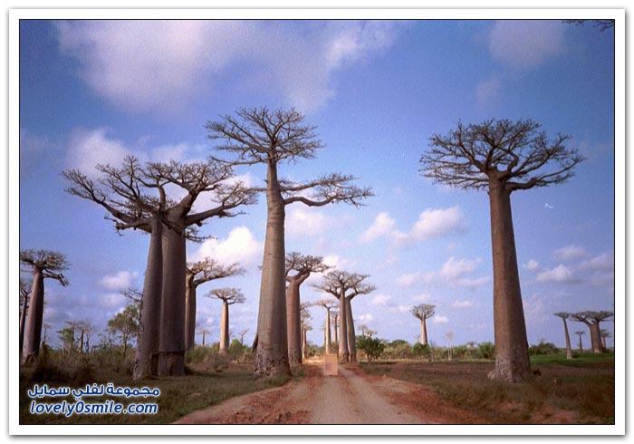 شجرة الباوباب في مدغشقر
