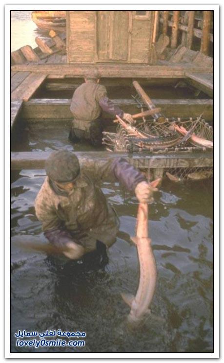 استخراج الكافيار الأسود من أسماك الحفش عام 1960