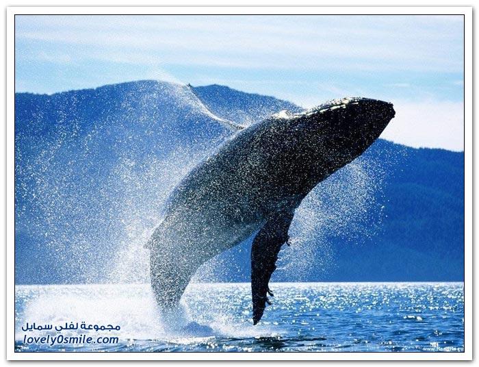 الحوت الأزرق أكبر مخلوق على وجه الأرض