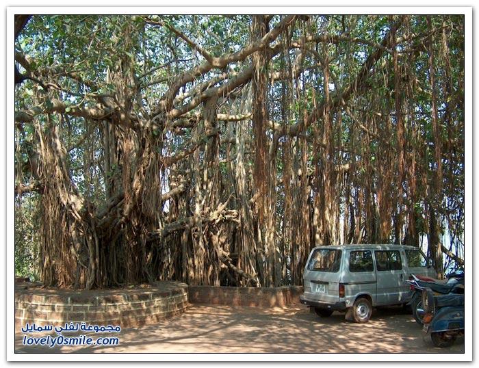 شجرة أثأب العظمى في الهند