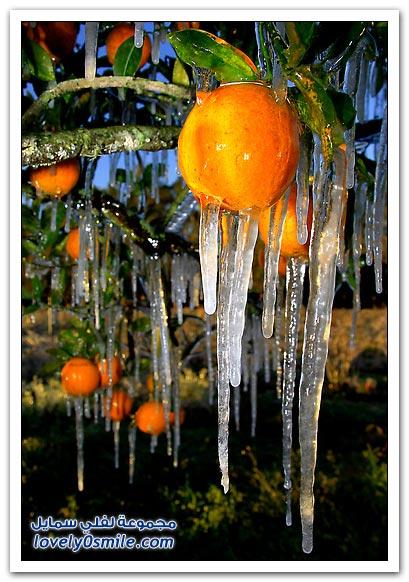 بساتين الجليد في ولاية فلوريدا