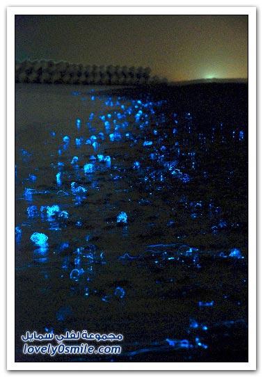 قناديل البحر المتوهجة في خليج توياما، اليابان