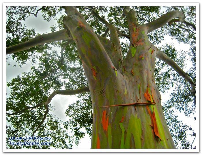 قوس قزح في شجرة الأوكالبتوس