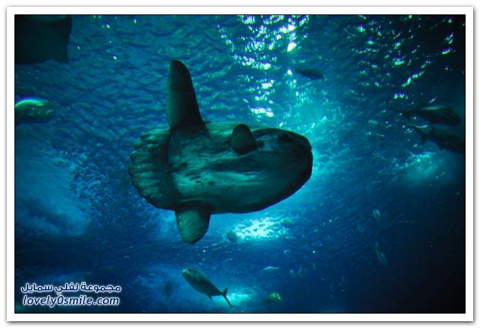 سمكة الشمس أكبر الأسماك العظمية في العالم