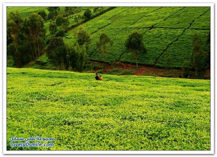 مزارع الشاي حول العالم