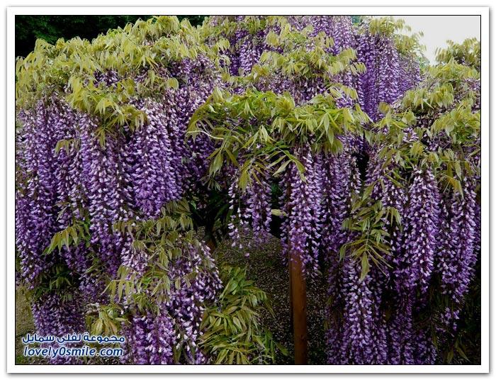 أزهار الوستاريه