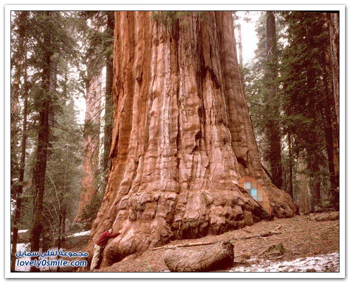 من أضخم الأشجار في العالم
