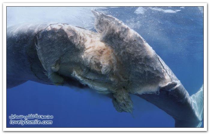 فيديو وصور لحوت ازرق ضخم تعرض للشطر بسبب سفينة نقل
