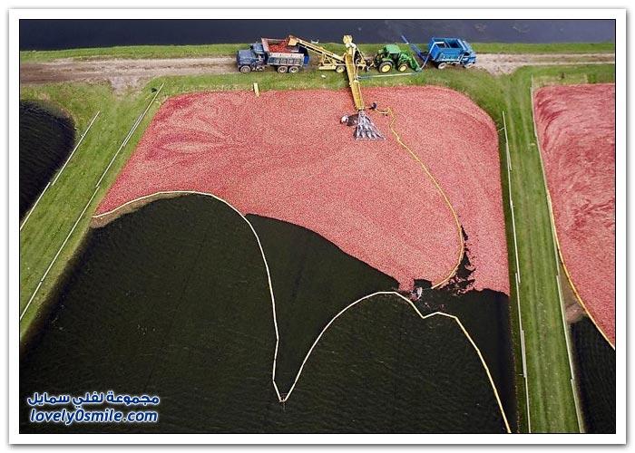 مزارع التوت البري في ولاية ويسكونسن