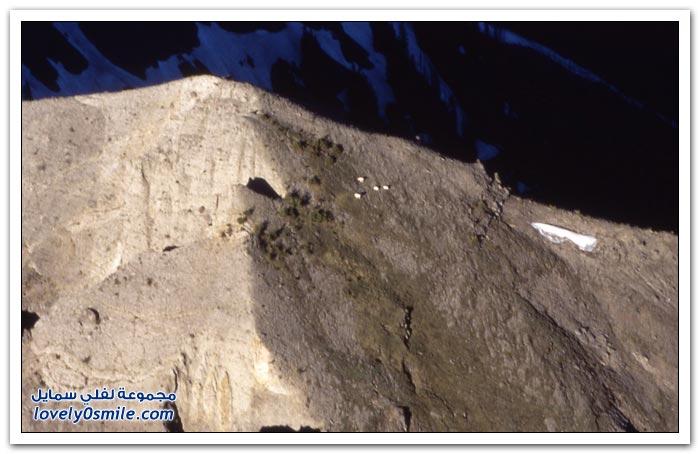 الماعز الجبلي المتسلقين