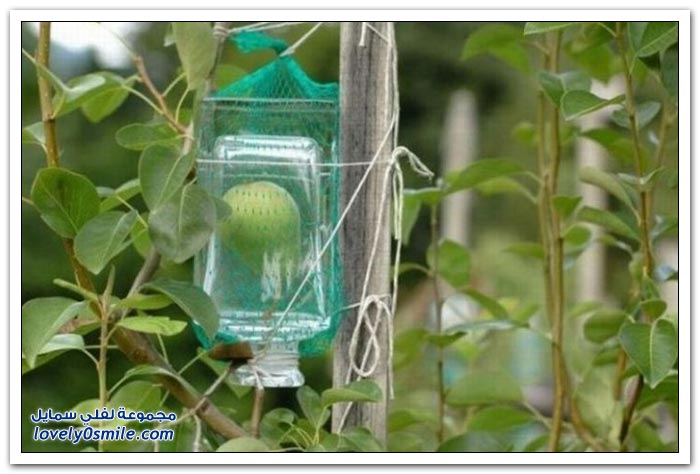 كيفية وضع الفاكهة بكاملها في زجاجة