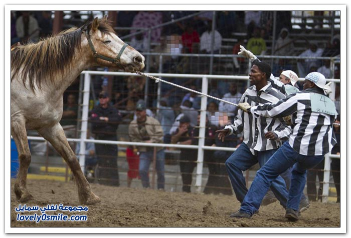 مواجهة الخيول والثيران الهائجة
