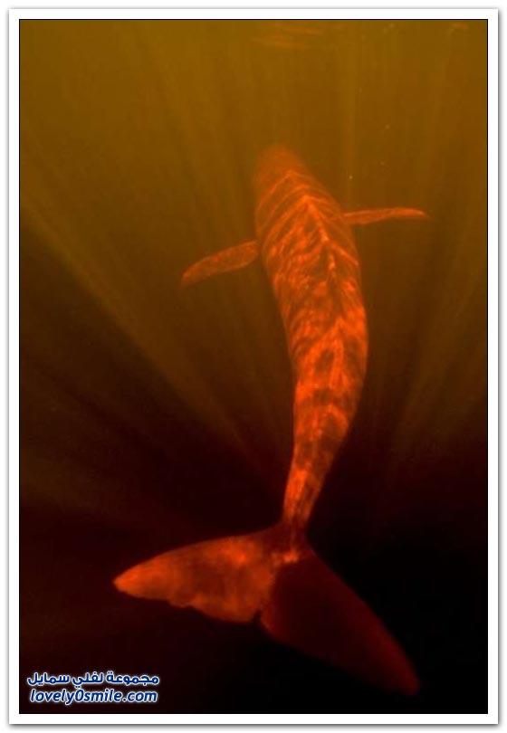الدلافين النهرية الوردية لنهر الأمازون
