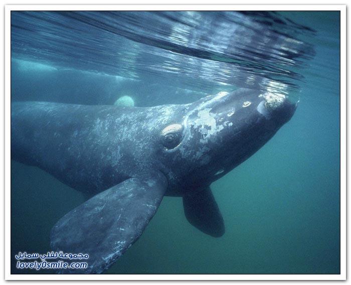 الحيتان عمالقة الأرض