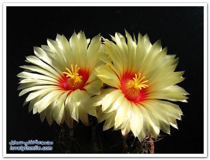 أزهار الصبار
