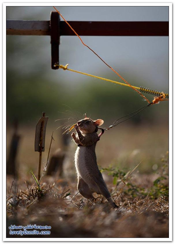 خبراء المتفجرات يدربون الفئران لكشف الألغام في تنزانيا وموزمبيق
