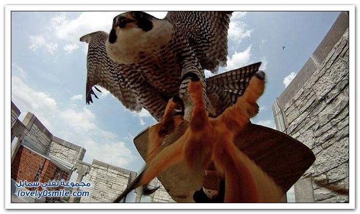أنثى صقر تدافع عن عشها ضد مجموعة من الباحثين