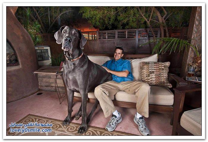 الكلب العملاق