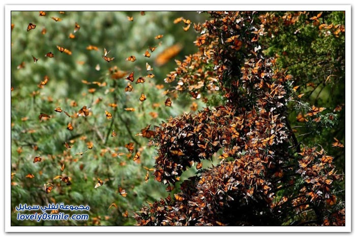 هجرة الفراشات