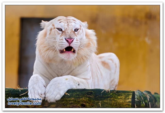 النمور البيضاء