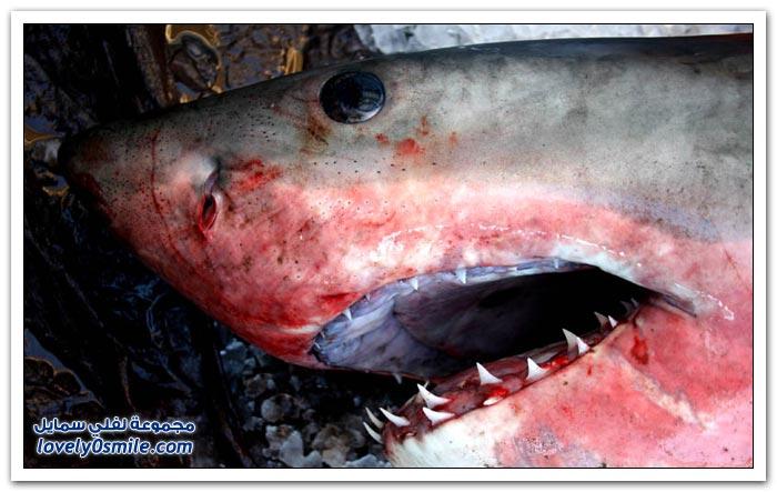 ملك البحار القرش الأبيض الكبير