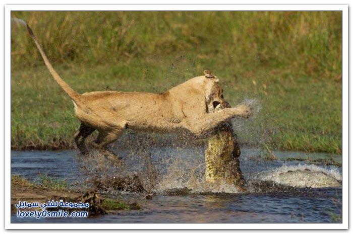 لبوه تهاجم تمساح