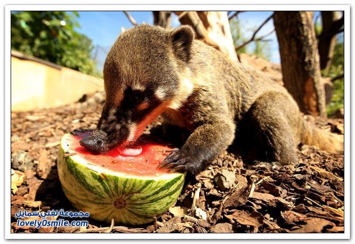 الحيوانات والبطيخ