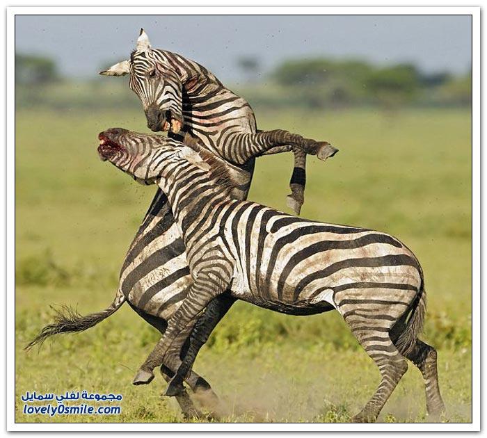معارك الأكثر إثارة في عالم الحيوانات