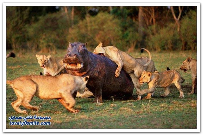 أشهر عشر معارك الأكثر إثارة في عالم الحيوانات