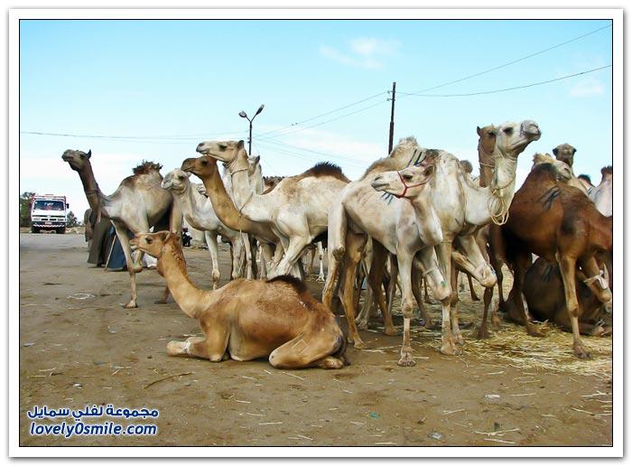 أكبر سوق إبل في مصر