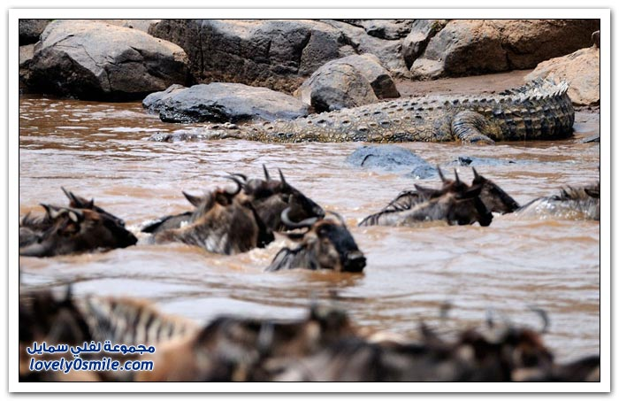 أخطر الأنهار في طريق بعض الحيوانات المهاجرة في كينيا