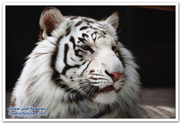 النمور البيضاء - لفلي سمايل