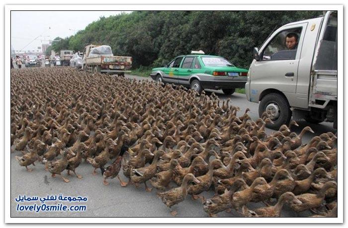 مزارع صيني يشرف على تسيير 5000 بط كل صباح